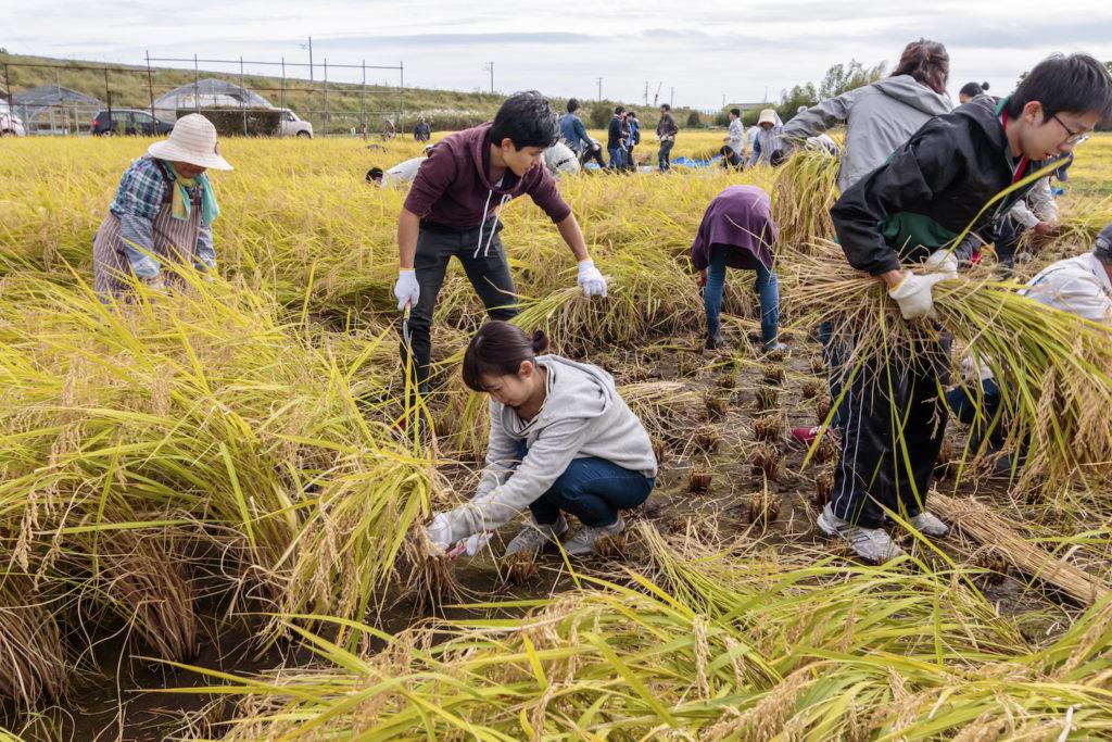 県内外からの大学生ボランティア50人が参加した稲刈り。初めは慣れない様子だったが、次第にコツを覚えて収穫作業は小一時間で終わった=10月10日、福島県浪江町酒田地区(佐瀬雅行撮影)