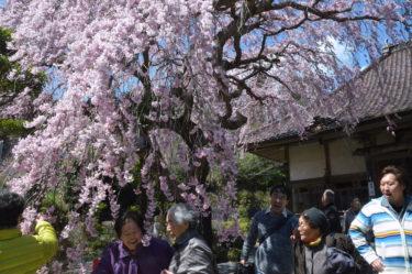 満開の桜の下で育つ、支え合いの地域コミュニティ 牡鹿半島