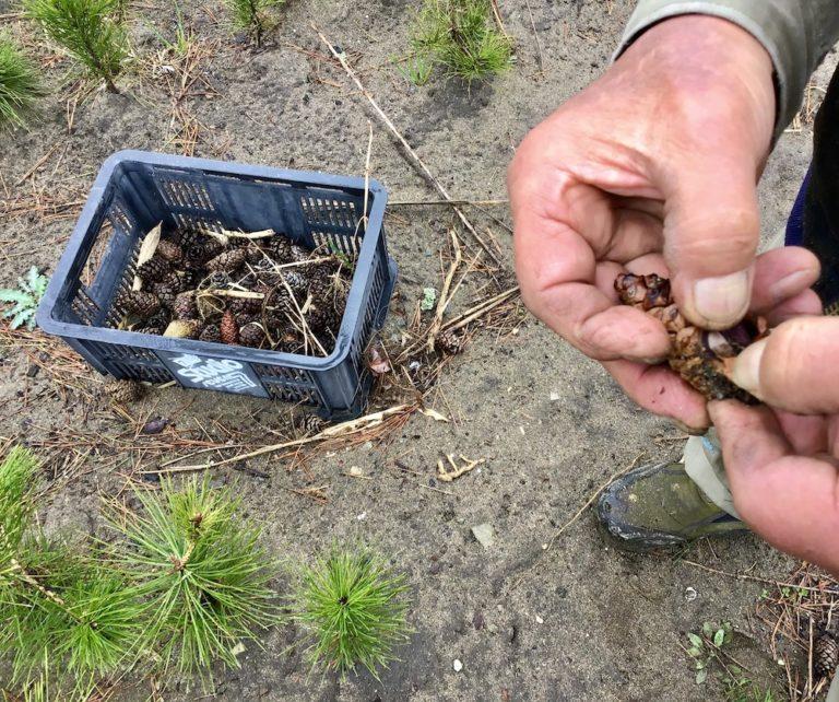 渡邊さんが種から育てるクロマツの苗