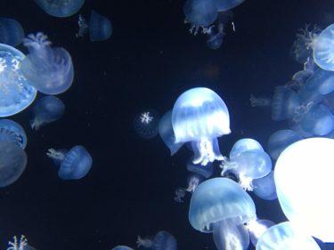 クラゲの映像とゆらゆら過ごす土曜の夜 山形・加茂水族館