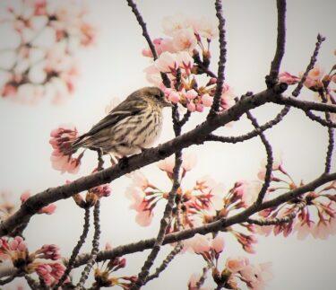満開の桜に野鳥もお花見 秋田